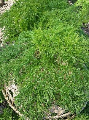 Горчица салатная Ажурная зеленая