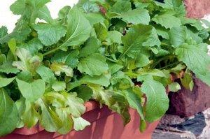 Горчица листовая Прима
