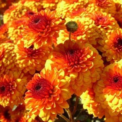 Огромная распродажа семян! +Предзаказ крутого чеснока и лука — Календула (семена) — Семена однолетние
