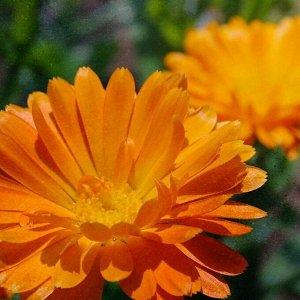 Календула лекарственная Оранжевая Вспышка