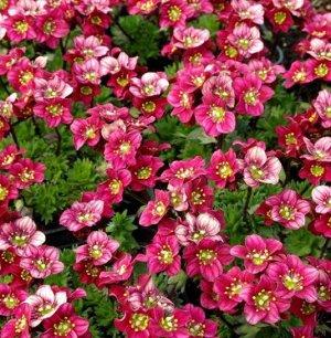 Камнеломка Цветочный ковер