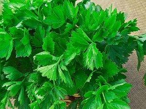 Сельдерей листовой Бодрость