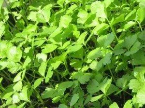 Сельдерей листовой Афинский