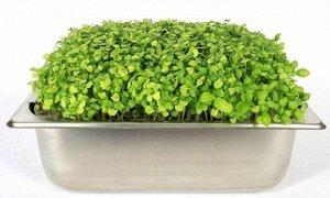 Семена базилика овощного зелёного для проростков