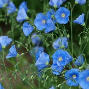 Лен крупноцветковый Атласный голубой