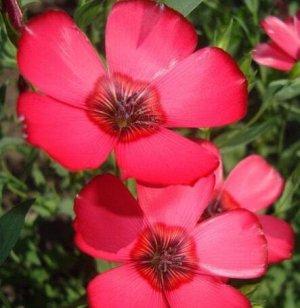 Лен крупноцветковый Атласный красный