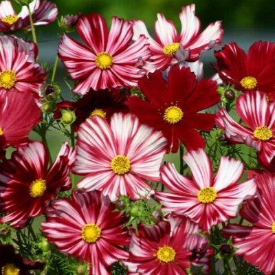 Огромная распродажа семян! +Предзаказ крутого чеснока и лука — Космея и Космос (семена) — Семена однолетние