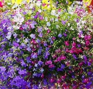 Лобелия Цветочный водопад ампельная, смесь окрасок