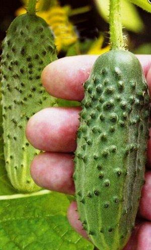 Огурец Остров сокровищ F1 (Генетически свободен от горечи)