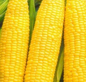 Кукуруза Кубанская консервная