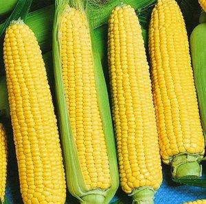 Кукуруза Золотой урожай F1