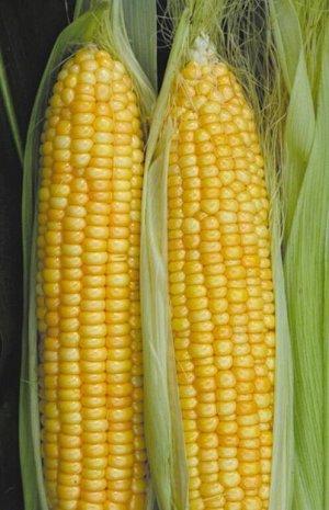 Кукуруза F1 суперсахарная Сливочный нектар