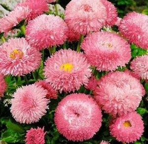 Маргаритка Розовый шар