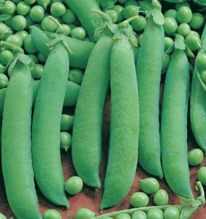 Горох Ника Позднеспелый (от всходов до получения урожая 95-120 дней) сахарный сорт. Растение среднерослое, высотой 70-85 см. Бобы слабо изогнутые, длиной 8-9 см, с 7-10 крупными, темно-зелеными, сладк