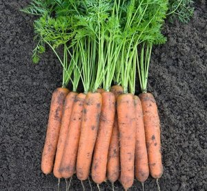 Морковь Номинатор F1