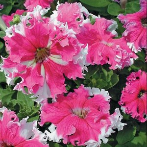 Фриллитуния Экспресс розовая
