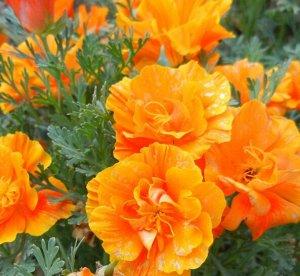 Эшшольция Оранжевая роза