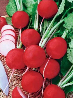 Редис Жара Один из самых популярных среди российских огородников сортов редиса. Очень урожайный и раннеспелый: от посева до начала сбора в среднем 20 дней. Корнеплод гладкий, округлый, красно-малиновы