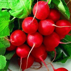 Редис Заря Скороспелый сорт: в открытом грунте корнеплоды формируются на 25-й день, в защищенном – на 2-3 дня раньше. Отличается дружной отдачей урожая. Корнеплод темно-красного цвета, массой 18-20 г,