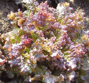 Салат листовой Дольче Вита