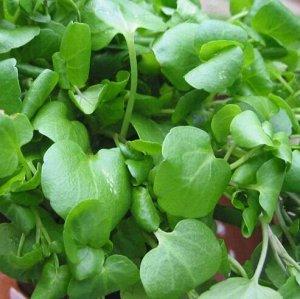 Кресс салат Курлед