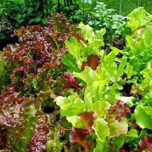 Салат листовой Бейби Ливз зеленый