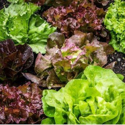 Огромная распродажа семян! +Предзаказ крутого чеснока и лука — Салат (семена) — Семена овощей