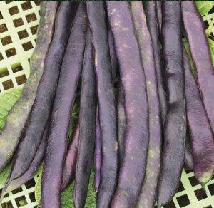 Фасоль кустовая спаржевая Пурпурная королева