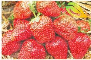 Счастливая Коралово-красная ягода, блестящая с изумительным вкусом и ароматом. Сорт среднеранний,высокоурожайный,неприхотливый.