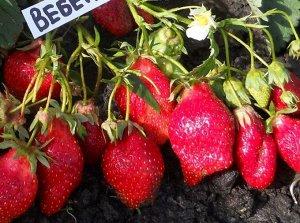 Вебенил Клубника Вебенил - среднепоздний сорт английской селекции с красивыми ягодами отменного вкуса и высокой потенциальной урожайностью! Куст энергично растущий, полураскидистый, мощный, с крупными