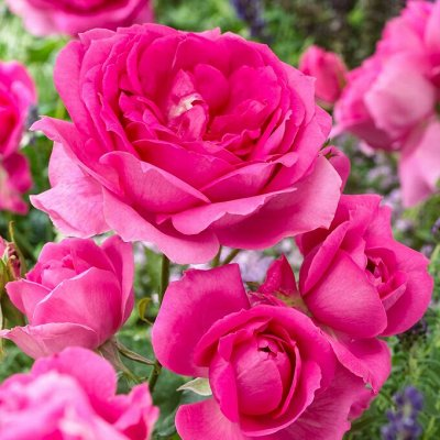 Саженцы плодовых и декоративных растений! Последняя в сезоне — Роза флорибунда — Декоративноцветущие
