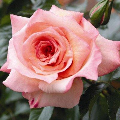 Саженцы плодовых и декоративных растений! Последняя в сезоне — Розы миниатюрные, плетистые, парковые и пр. — Декоративноцветущие