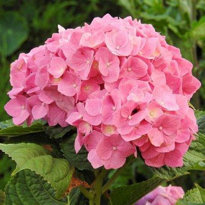 Саженцы плодовых и декоративных растений! Последняя в сезоне — Гортензия — Декоративноцветущие