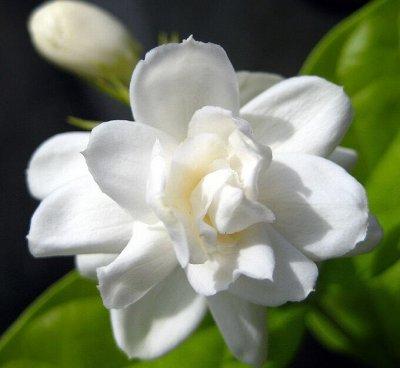Саженцы плодовых и декоративных растений! Последняя в сезоне — Жасмин — Декоративноцветущие
