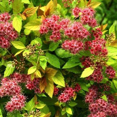 Саженцы плодовых и декоративных растений! Последняя в сезоне — Спирея — Декоративноцветущие