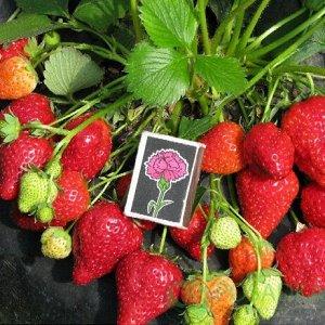 Альбион Ягоды продолговатой правильной формы, красные и блестящие. Мякоть душистая, ярко-розовая и сочная. Доспевшая ягода сладкая, присутствует легкий земляничный аромат. Вес колеблется от 30 до 50 г