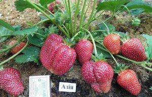 Азия Ягоды большого размера (28-34 г), имеют форму удлиненного конуса, ярко-красного цвета с глянцевым покрытием, одномерные. Мякоть нежно-красного цвета, сладкая, без внутренних пустот, имеет выражен