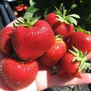 Зефирная Куст высокий, цветоносы мощные, с обильным цветением.  Земляника крупноплодная, ягоды блестящие, темно-красного цвета, в форме гребешка (или конуса), ребристые, внутри без пустот, весом чаще