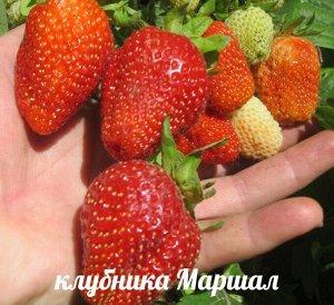 Маршал Ягоды Маршала ярко-красного цвета с глянцевым покрытием, крупные (в среднем 40-60 г, может достигать веса в 90 г), однородные, имеют широкую клиновидную форму, на верхушке расположен вогнутый н