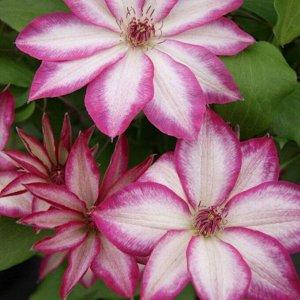 Клематис крупноцветковый ЛюксПикоти