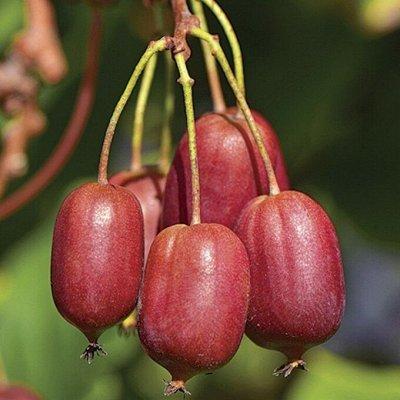 Саженцы плодовых и декоративных растений! Последняя в сезоне — Актинидия — Плодово-ягодные