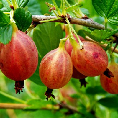 Саженцы плодовых и декоративных растений! Последняя в сезоне — Крыжовник — Плодово-ягодные