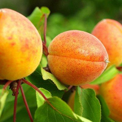 Саженцы плодовых и декоративных растений! Последняя в сезоне — Абрикос — Плодово-ягодные