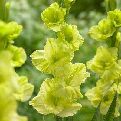 Саженцы плодовых и декоративных растений! Последняя в сезоне — Гладиолусы крупноцветковые — Семена