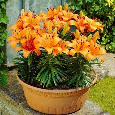 Саженцы плодовых и декоративных растений! Последняя в сезоне — Лилии азиатские горшечные — Семена