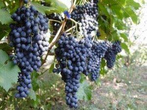 Виноград Черный изумруд