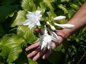 """Venus Хоста plantaginea """"Venus"""" Среднего размера хоста, разрастается в ширину до 80 см. Листья морщинистые, ярко-зелёные, блестящие.  Цветки эффектные, махровые (трёхрядные), белые с сильным ароматом,"""