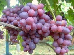 Виноград Амирхан