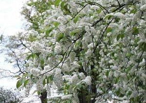Черемуха душистая (Prunus padus) 40-80