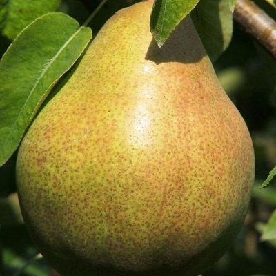 Питомник Саженцы на Золотарях. — Яблони, груши — Плодово-ягодные
